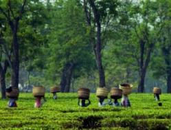 plucking tea leave in Assam | India Monsoon Travel
