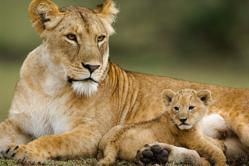 Female lion with cub