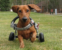 Dachshund Cart