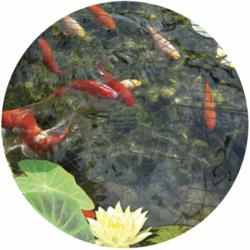 protect koi pond