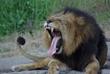 Lion yawning at Oakland Zoo