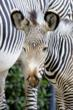 Denver Zoo Welcomes Endangered Grevy's Zebra Foal