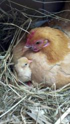 New York Resident's Prize Chicken Photo Wins USDA Cutest Bird...