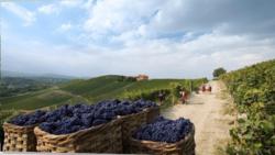 Harvesting Grapes at the Fontannafreda Winery