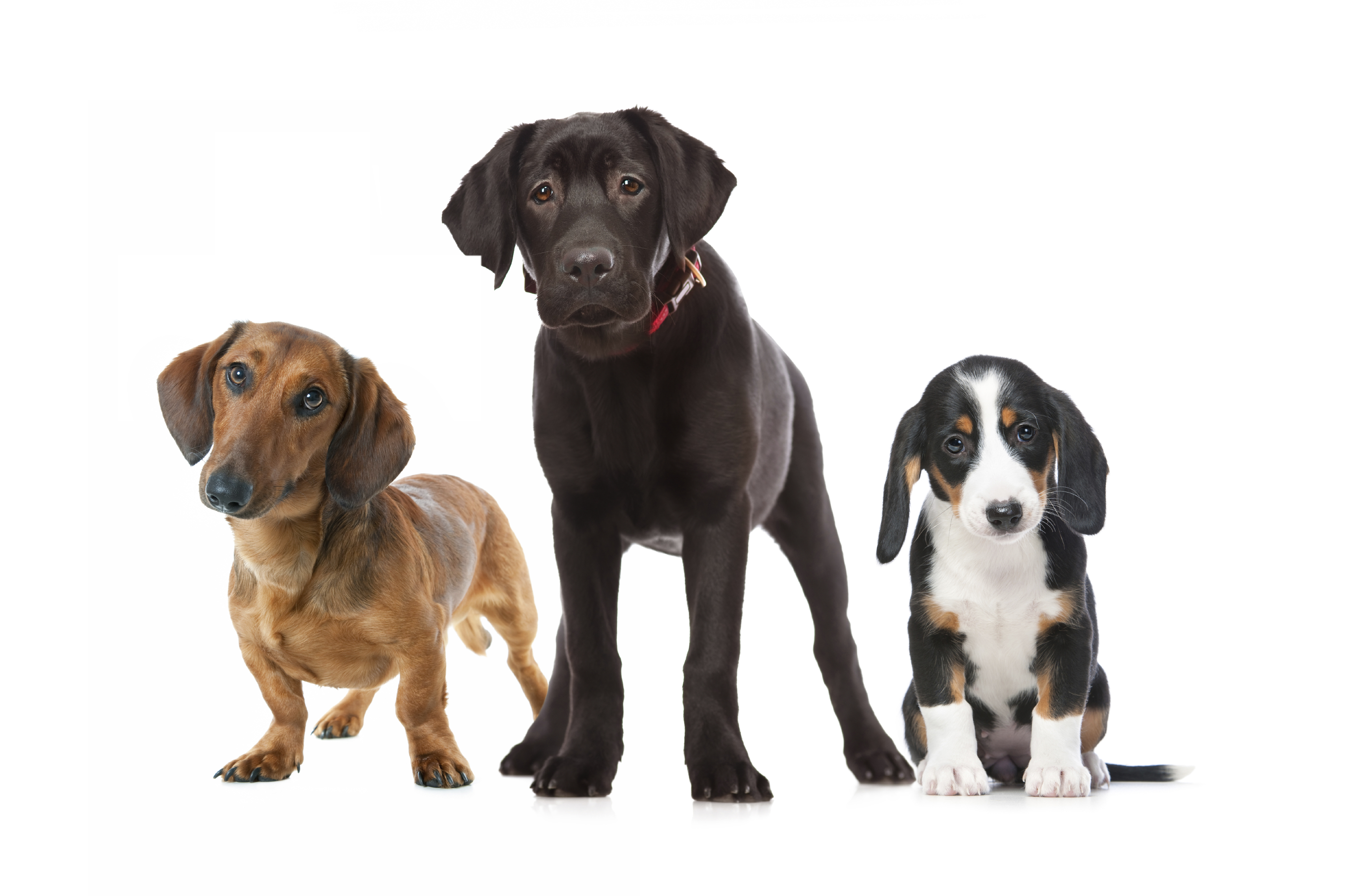how to find a responsible dog breeder