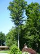 This large beech tree and several others in this Ludington landscape had been saved from destruction from Beech Bark Disease by Megan and Gary Kuhlman through Pointer applications using Arborsystems'