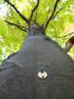 """Five years after treatment, all treated trees remained free of beech bark scale (BBS) infestations-""""smooth as a baby's bottom"""", as the saying goes. (Photo Credit: Dr. David L. Roberts - Michigan State"""