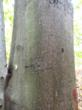 Five years after treatment, Pointer-injected trees just began to be re-colonized with BBS, having been largely free of scale for the first 3-4 years after treatment. It is presumed that this low scale