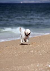 A Maltese dog on the beach