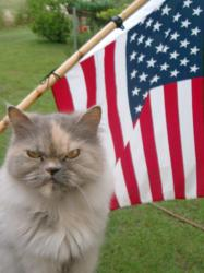fourth of july cat