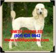 AKC Standard Poodle Puppies, Parti Poodles, and Phantom Standard Poodles Now Available from Smith Poodles