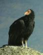 Naturalist Journeys Announces New Tour to View Rare California Condors...