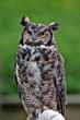 "Snowdon Wildlife Sanctuary Resident ""Ollie"""