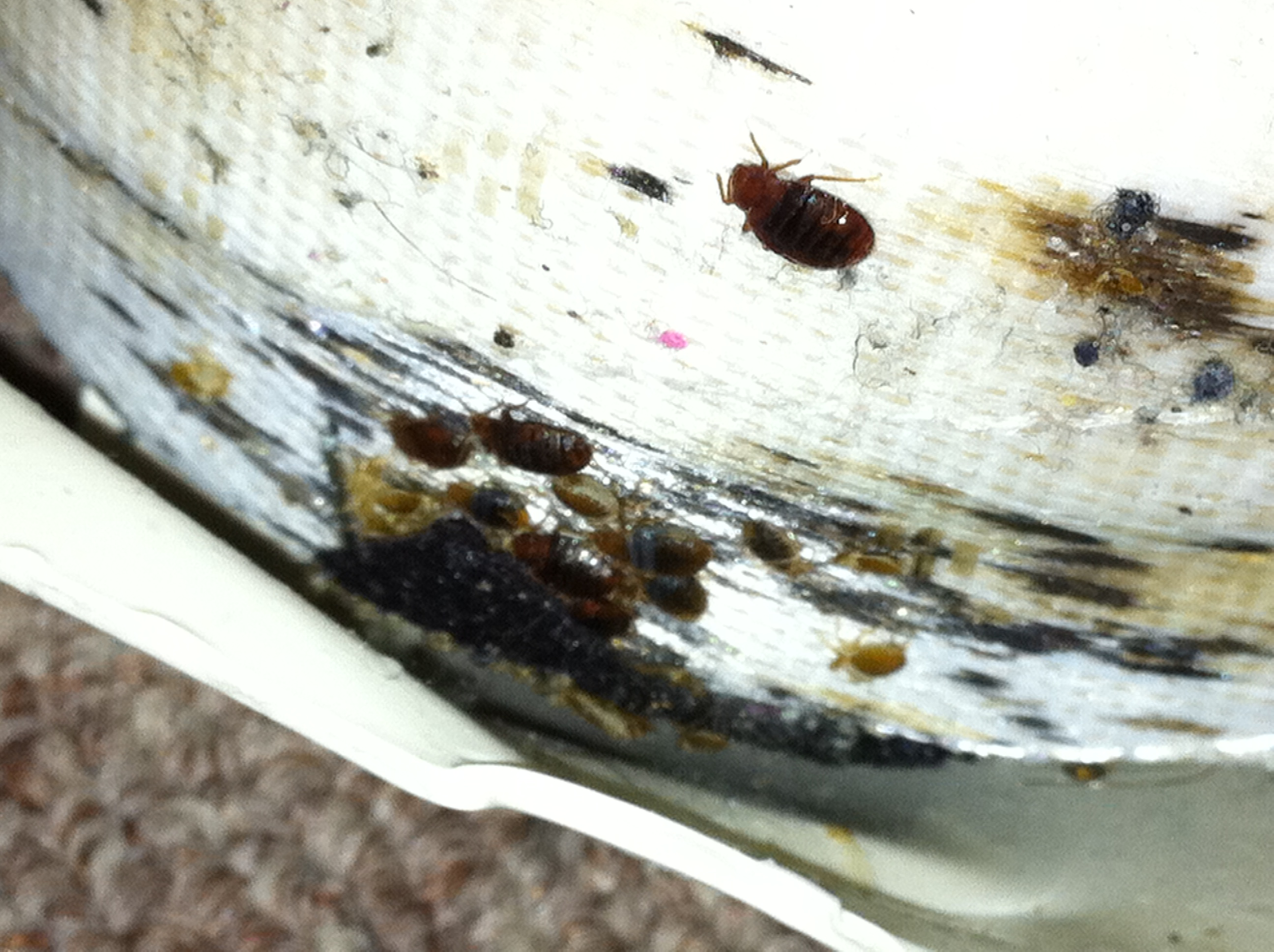 Bed Bug Help 28 Images Man Seeks Community S Help To Fight Bed Bugs My Cleaning Brown