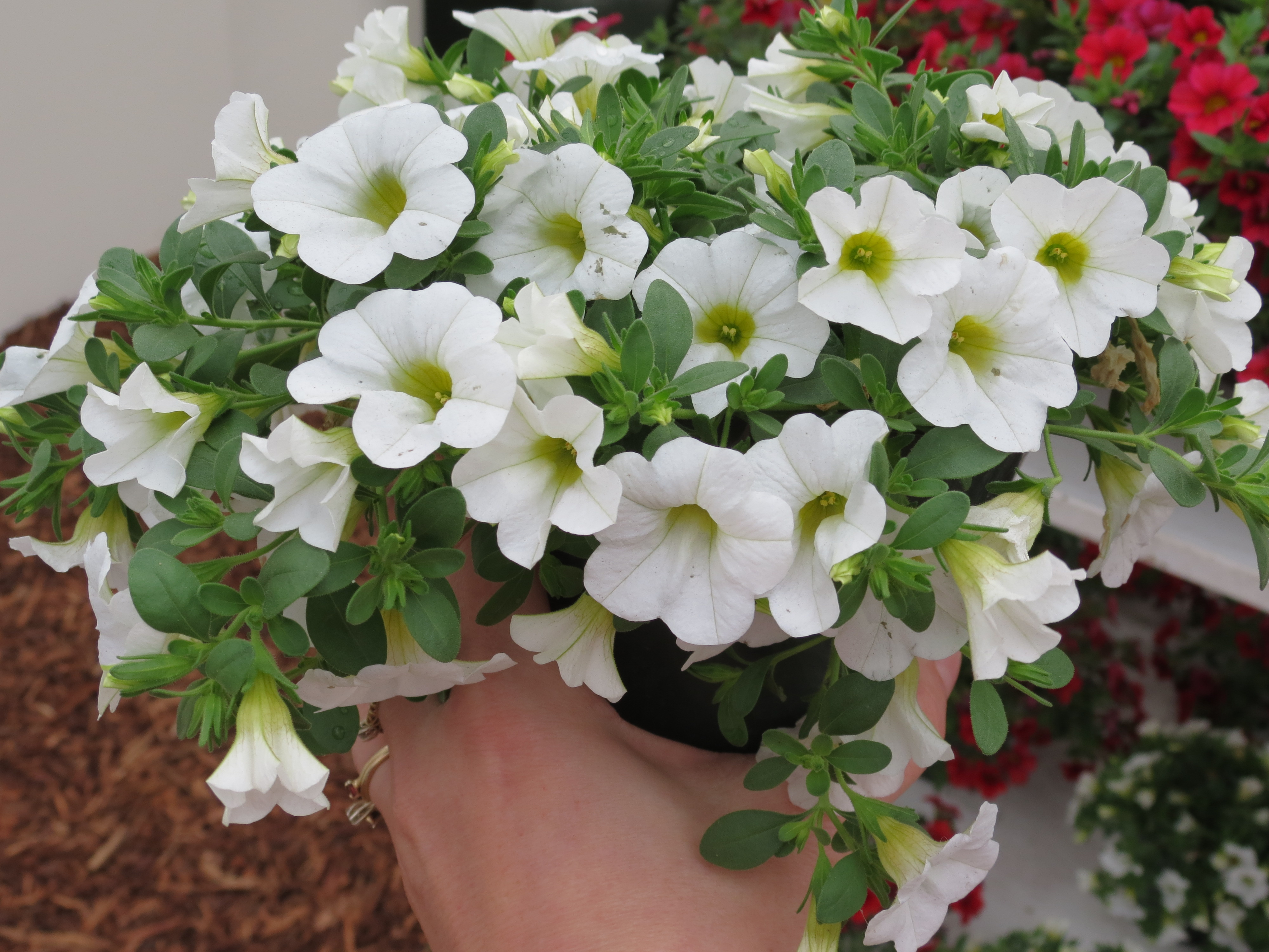 Easy Tips From Suntory Flowers For Creating Patriotic Gardens