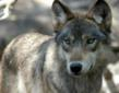 Wolves In Michigan: Are They Out Of Control?
