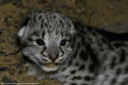 a curious little snow leopard cub