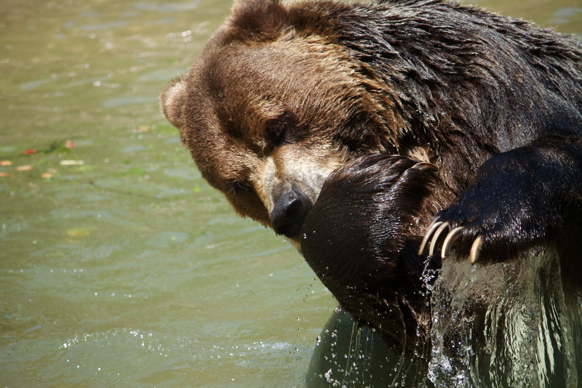 Reverence For The Native American Bear Explored On New Website