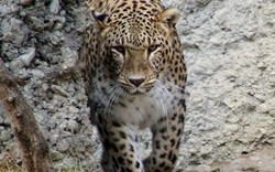 Birth of Persian Leopard Cubs Proves Success of the Sochi 2014 Environmental Program