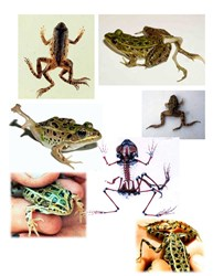 mutated frogs, malformed limbs,