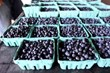 August is Wild Blueberry Month at Evergreen Brick Works