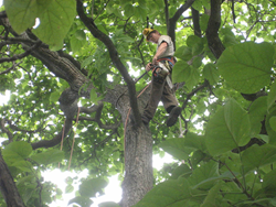 Tree Pruning to improve air flow and remove dead branches in a Catalpa tree