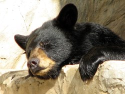 The Appalachian Bear Rescue has become the premier resource for Gatlinburg bears according to Jackson Mountain Homes.