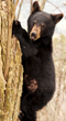 The Appalachian Bear Rescue is a non-profit organization dedicated aiding injured and orphaned Gatlinburg bears in the scenic Smoky Mountains.