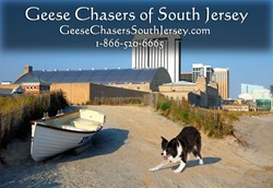 Geese Chasers is now clearing geese in Atlantic, Cape May, and Cumberland counties.