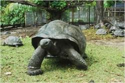 A Seychelles Giant Tortoise (Dipsochelys hololissa)