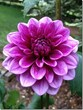 Ric and Em's Newest Passion - Growing Dahlia's