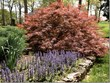Rick and Em's Prize Japanese Maple --SimplyLoveGardening.com