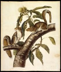 John James Audubon Eastern Grey Squirel