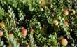 Ripening Massachusetts Cranberries