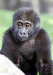 Blackpool Zoo's baby Western lowland gorilla Meisie