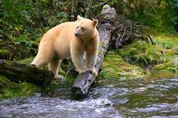 Spirit Bear in Threatened Great Bear Rainforest
