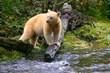 International Wildlife Adventures Opposes Oil Pipeline and Tankers in Spirit Bear Habitat