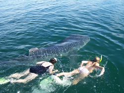 Baja Whale Shark Tours with Baja AirVentures - Sea of Cortez Adventure Travel