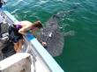 Baja AirVentures Whale Shark Tours, Bahia de Los Angeles, Baj, Mexico