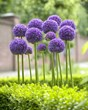 High quality bulbs from Longfield Gardens result in beautiful blooms come spring, like this Allium 'Gladiator'