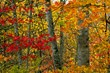 """Maples Mosaic"" 20x30 by Thomas D. Mangelsen"