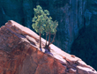 Tree in Zion Nat. Park shows how little water and soil plants really need