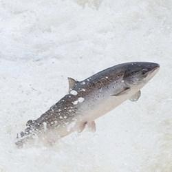 Wild Atlantic salmon leaping