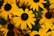 Black-eyed Susan's can add a splash of color to any fall garden