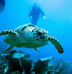 Diver and turtle in Belize