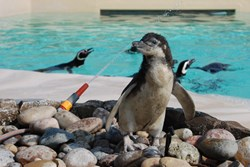 Gandal the Megellanic penguin chick