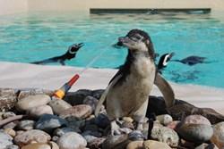 Gandal the Megellanic penguin chick