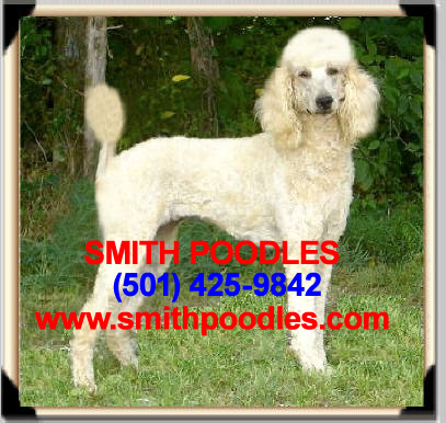 Smith Poodles Celebrates Placement Of Standard Poodles In