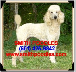 To learn more about Standard Poodles, Standard Parti Poodles and Brindle Poodles, or to learn how to purchase one from Smith Poodles, visit www.SmithPoodles.com