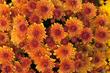 Meijer Gardens Celebrates Autumn with Chrysanthemum Exhibition